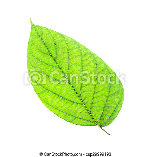 tree leaves isolated on white background - csp29999193