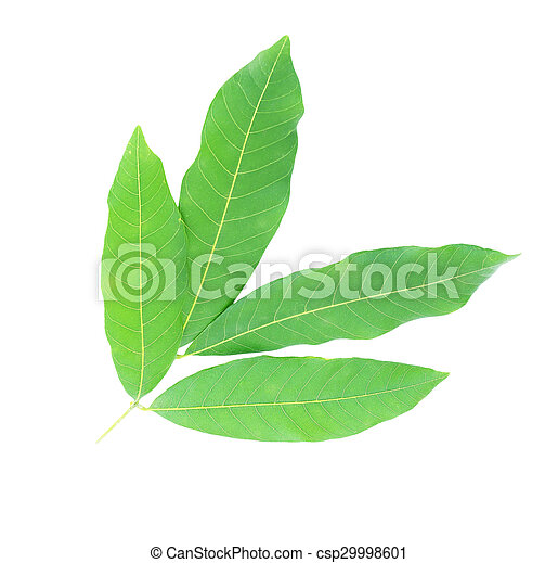 tree leaves isolated on white background - csp29998601