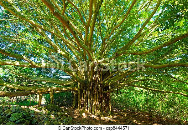 Tree of Life, Amazing Banyan Tree - csp8444571