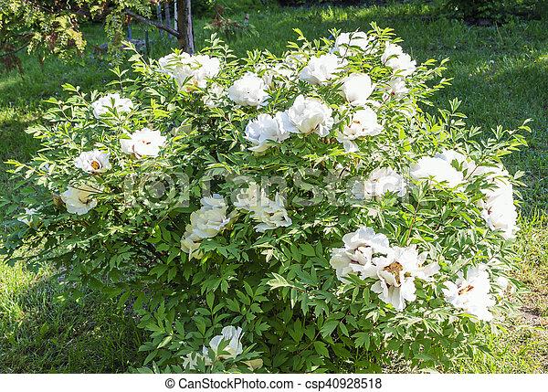 Tree Peony Bush With White Flowers