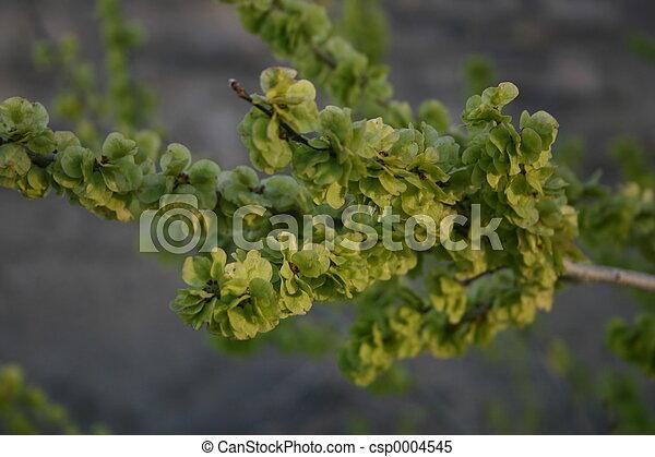 Tree Seeds - csp0004545