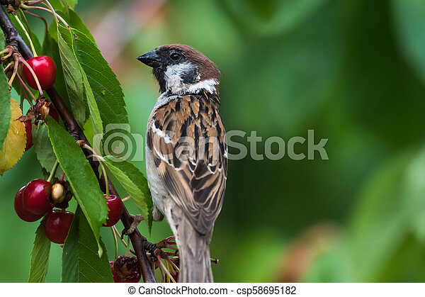 Tree Sparrow closeup in a cherry tree - csp58695182