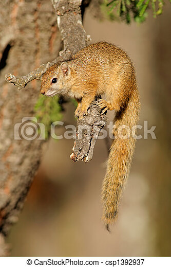 Tree squirrel - csp1392937