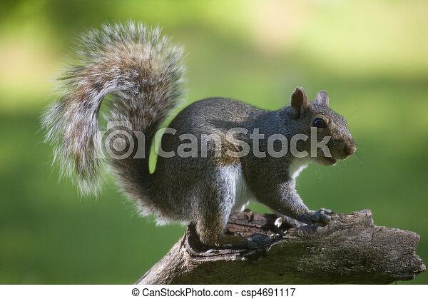 tree squirrel - csp4691117