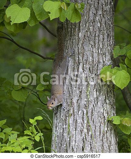 Tree squirrel - csp5916517