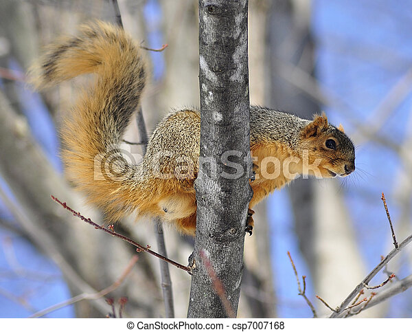 tree squirrel - csp7007168