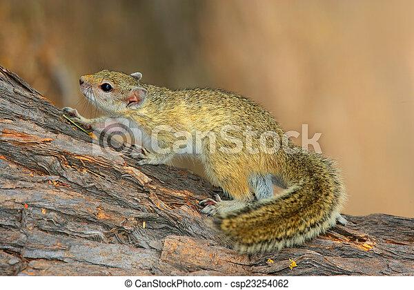 Tree squirrel - csp23254062
