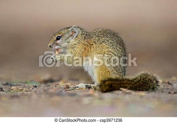 Tree squirrel - csp3971236