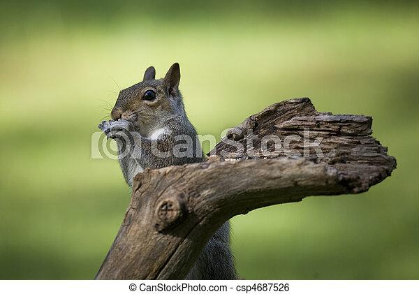 tree squirrel - csp4687526