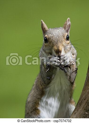 tree squirrel - csp7074702