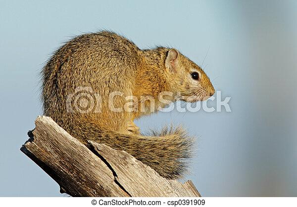 Tree squirrel - csp0391909