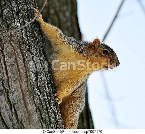 tree squirrel - csp7007170