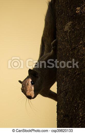 Tree Squirrel - csp39820133