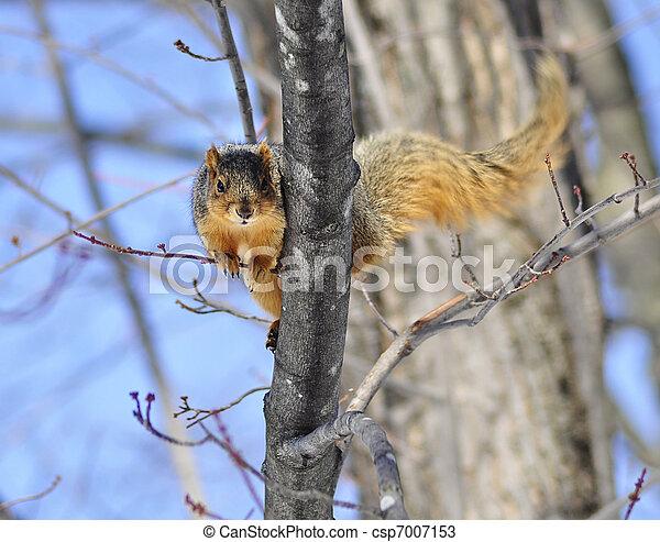 tree squirrel - csp7007153