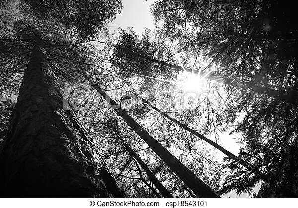 Tree tops an the Sun in the forest - csp18543101
