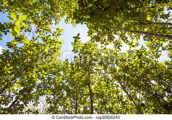 tree tops - csp30826243