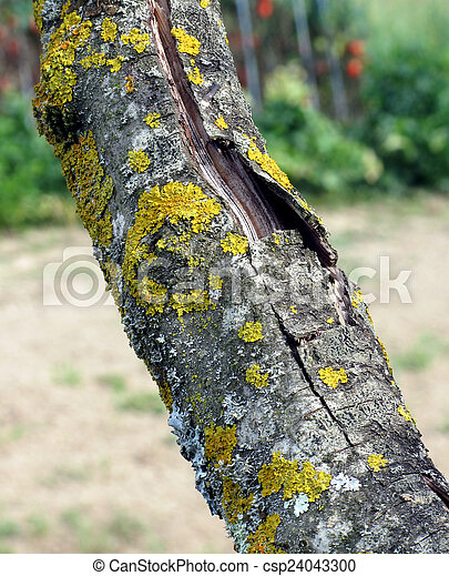 Tree trunk with yellow moss fungus - csp24043300