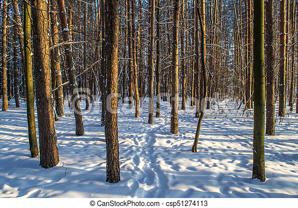 Tree trunks in winter forest - csp51274113