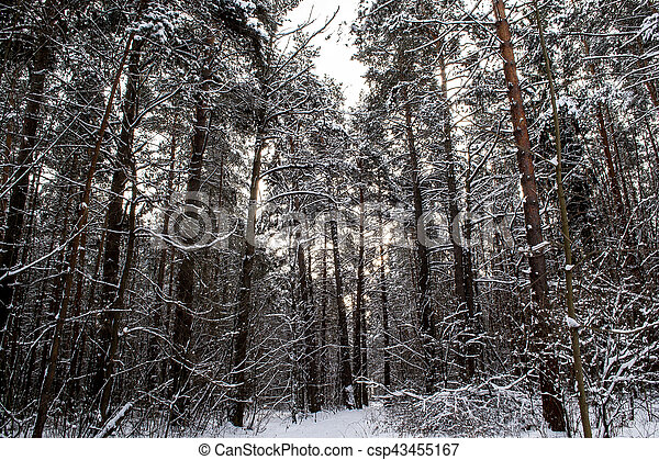 Tree trunks in winter forest - csp43455167