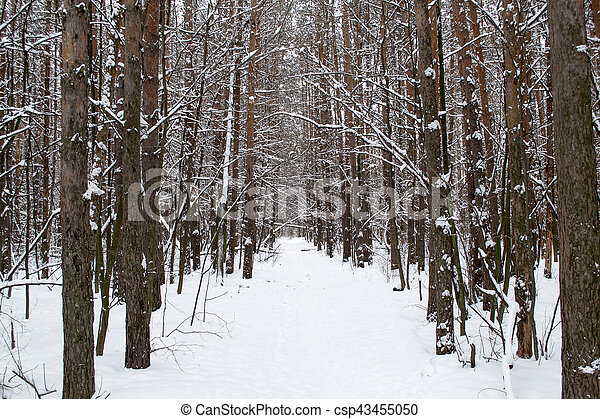 Tree trunks in winter forest - csp43455050