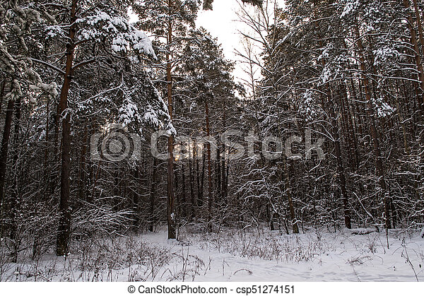 Tree trunks in winter forest - csp51274151