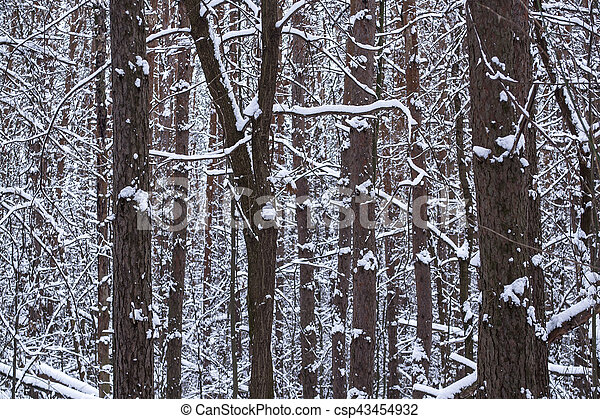 Tree trunks in winter forest - csp43454932