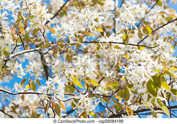 tree with blossoming white flowers - csp58084188