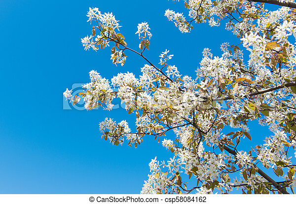 tree with blossoming white flowers - csp58084162