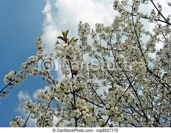 Tree with branches of small white flowers and cherry stock tree with branches of small white flowers and cherry blossoms with the blue sky background mightylinksfo Image collections