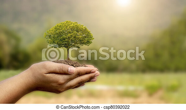 Trees are planted on the ground in human hands with natural green backgrounds, the concept of plant growth and environmental protection. - csp80392022