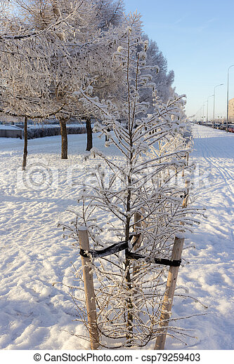 trees in hoarfrost - csp79259403