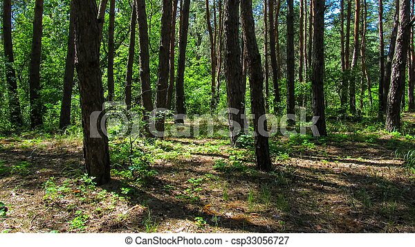 Trees in the coniferous forest, the shadow of pine trees moving in the  woods