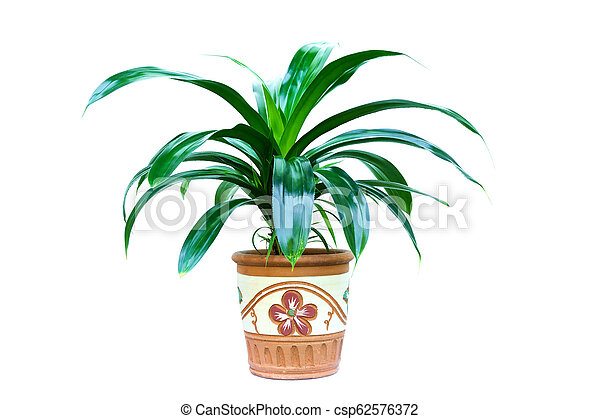 Trees in the pot plant isolated on white background. - csp62576372