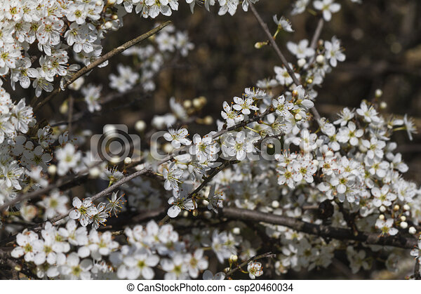 Trees with white flowers in spring trees with white flowers in spring csp20460034 mightylinksfo