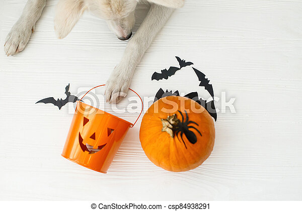 Trick or treat! Dog paw holding Jack o lantern candy pail on white background with pumpkin, bats and spider decorations, celebrating halloween at home. Top view with space for text. - csp84938291