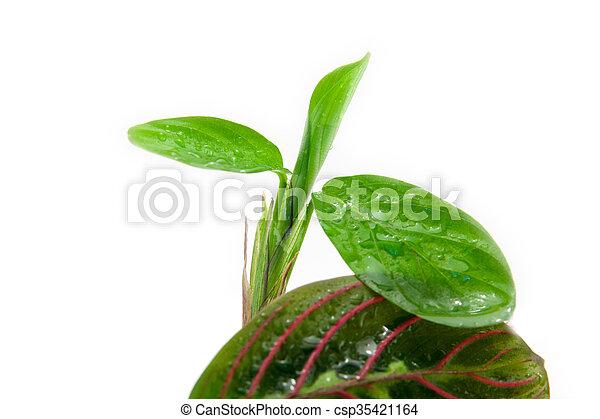 Maranta tricolor aislada - csp35421164