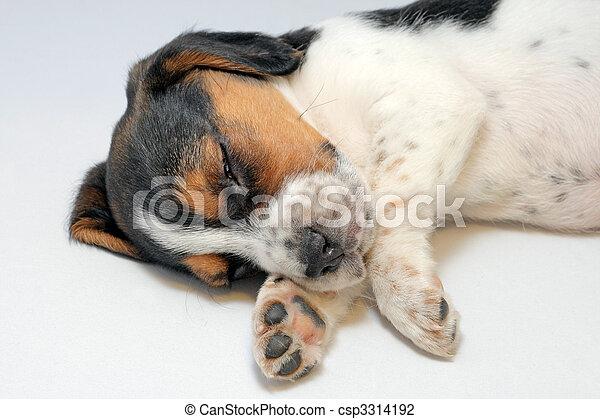 Tricolor beagle puppy sleeping - csp3314192
