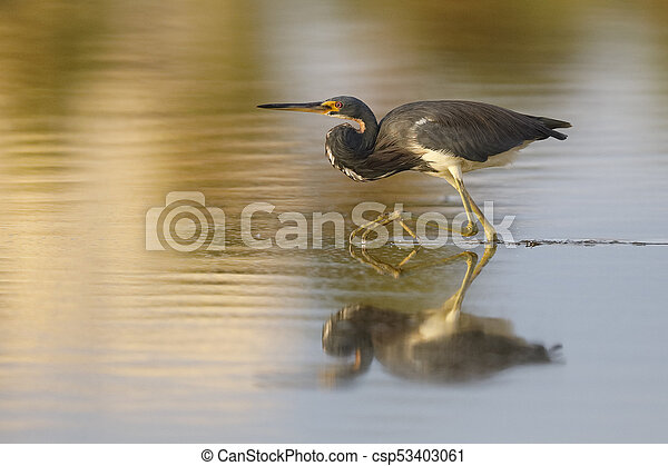 Tricolored Heron stalking a fish in a shallow pond - Estero Island, Florida - csp53403061