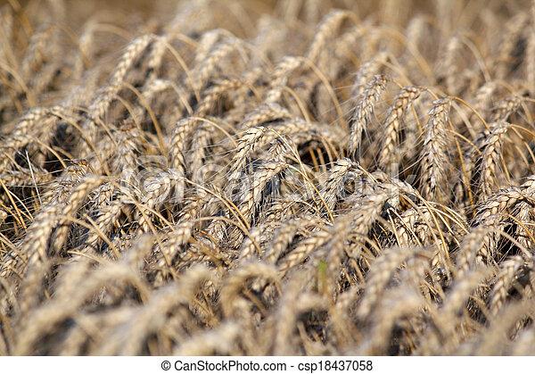 trigo, dorado, industria, campo de la agricultura - csp18437058