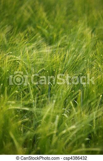 trigo, pradera, naturaleza, alimento, campo, crecer, agricultura - csp4386432
