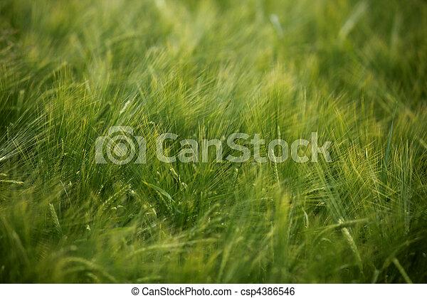 trigo, pradera, naturaleza, alimento, campo, crecer, agricultura - csp4386546