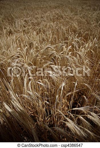 trigo, pradera, naturaleza, alimento, campo, crecer, agricultura - csp4386547