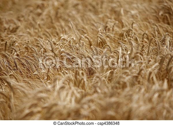 trigo, pradera, naturaleza, alimento, campo, crecer, agricultura - csp4386348