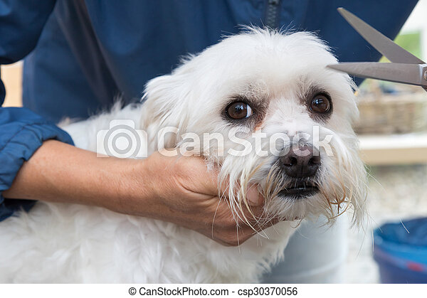 Trimming the white Maltese dog - csp30370056