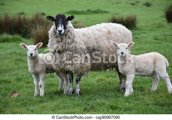 Trio of Sheep Standing in a Field on a Farm - csp90997090