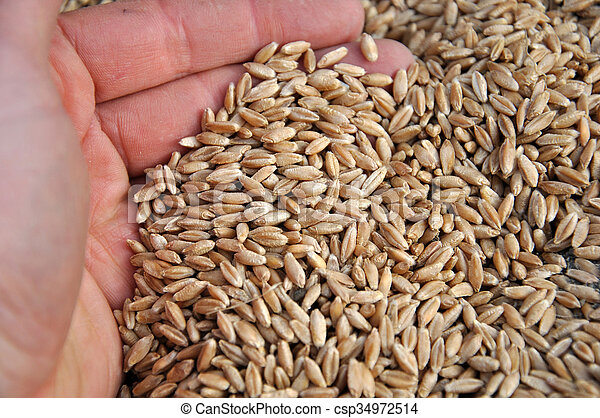 triticale seed triticale grain seed ready for sowing new zealand