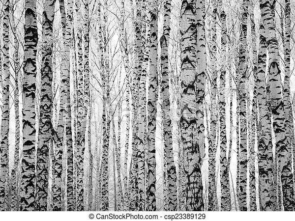 troncs, arbres hiver, bouleau - csp23389129