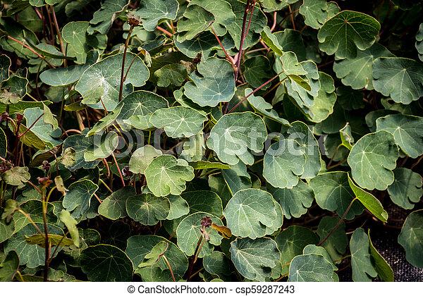 Tropaeolum tuberosum mashua foliage plant - csp59287243