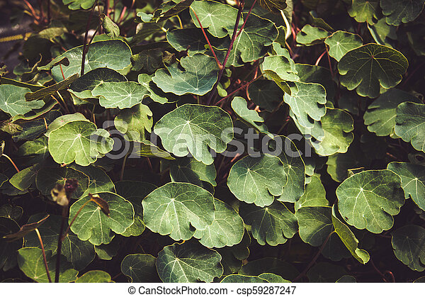 Tropaeolum tuberosum mashua foliage plant - csp59287247