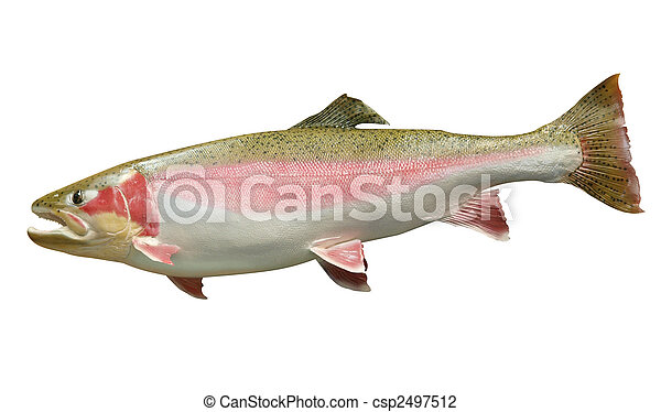 Trophy Rainbow Trout i - csp2497512